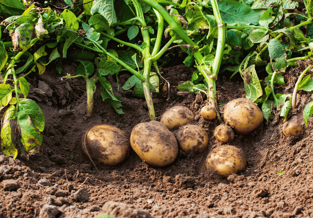 Growing Potatoes In Your Garden  2019