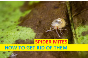 SPIDER MITES