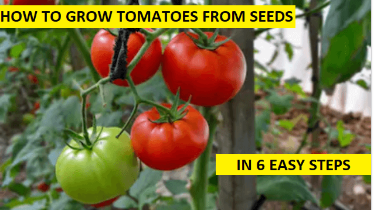 How To Grow Tomatoes From Seed 6 Easy