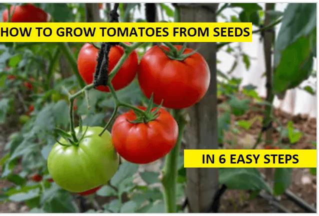 GROWING TOMATOES