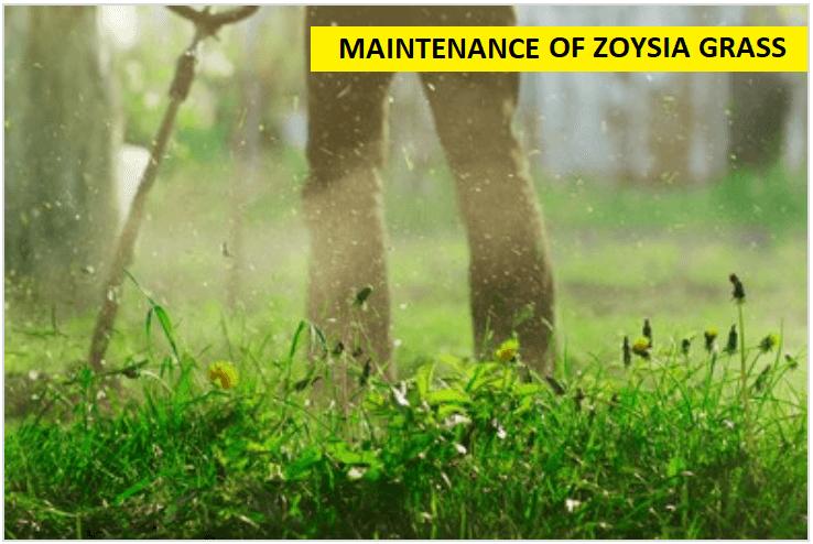 MAINTENANCE OF ZOYSIA GRASS