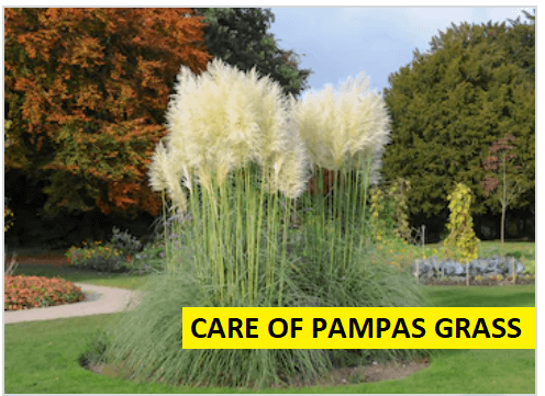 care of pampas grass
