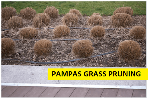 pruning of pampas grass