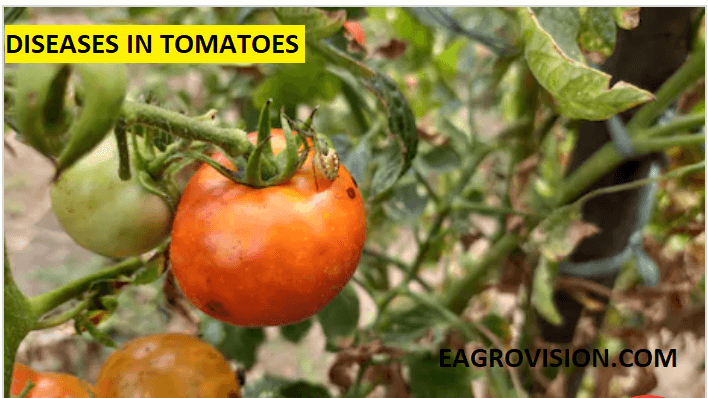 Diseases in tomatoes
