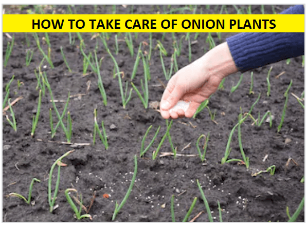 CARE OF ONION PLANTS