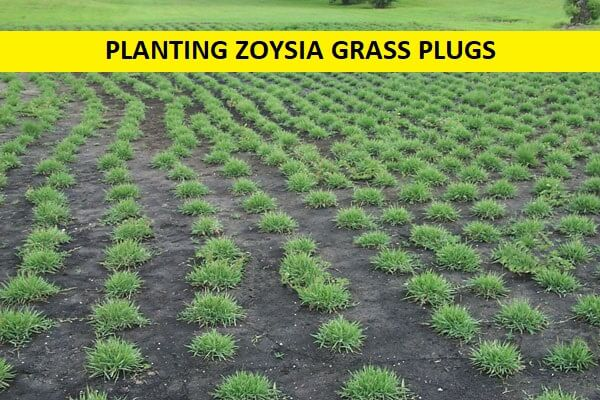 PLANTING ZOYSIA GRASS PLUGS