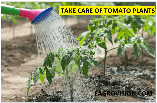 Take care of tomato plants