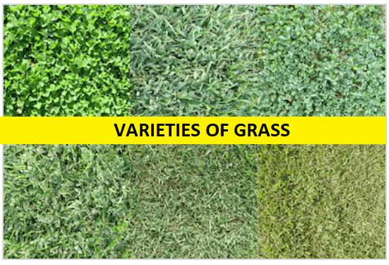 VARIETIES OF GRASS