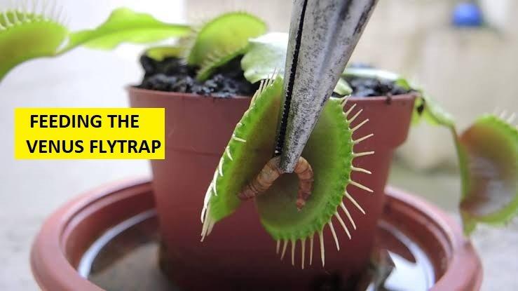 Fedding the venus fly trap