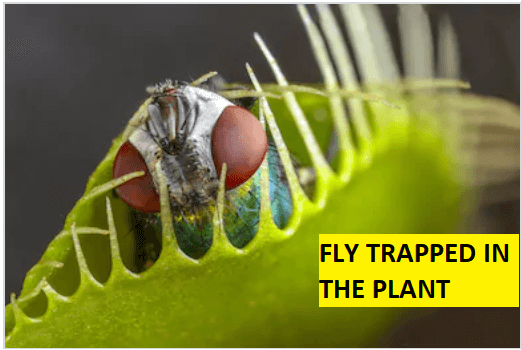 Fly trapped In The Plant