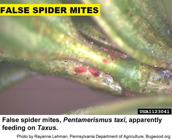 false spider mites