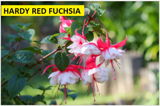 hardy red fuchsia
