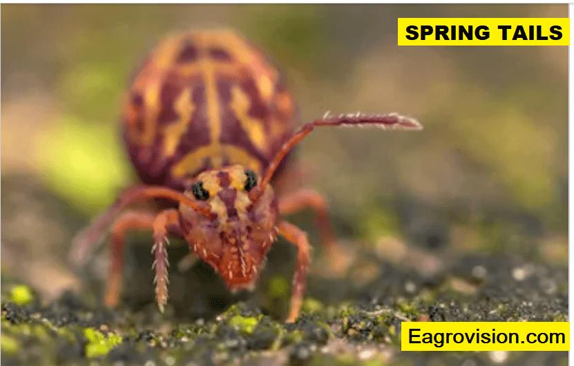 springtails