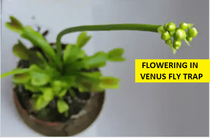 Flowering In Venus Fly Trap