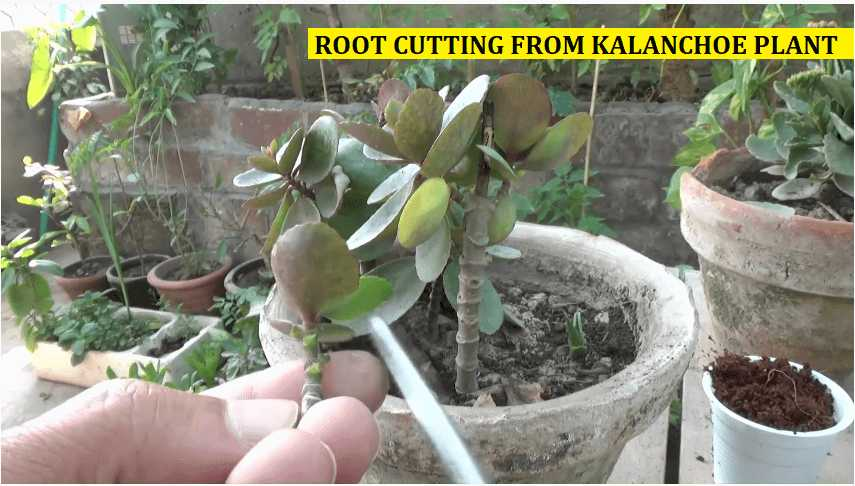 growing kalanchoe from root cutting