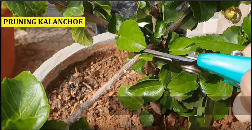 pruning kalanchoe