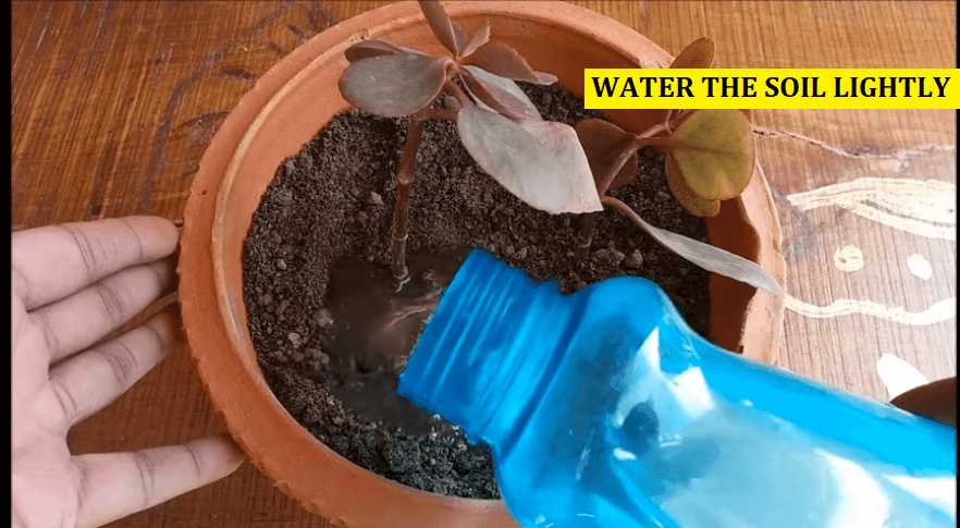 Watering kalanchoe