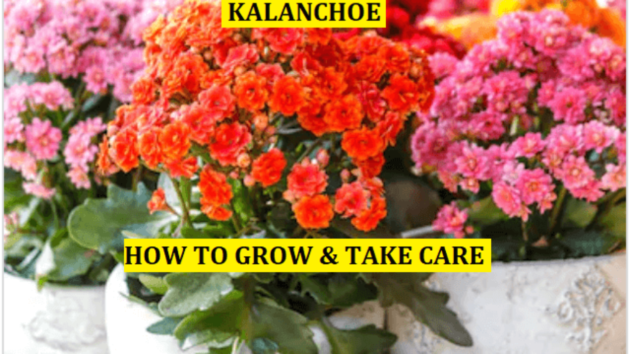 15 Steps To Grow And Take Care Of Kalanchoe In 2020 E Agrovision