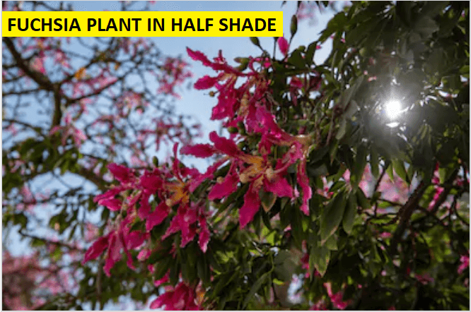 half shade fuchsia plant