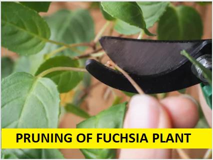 pruning of fuchsia plant