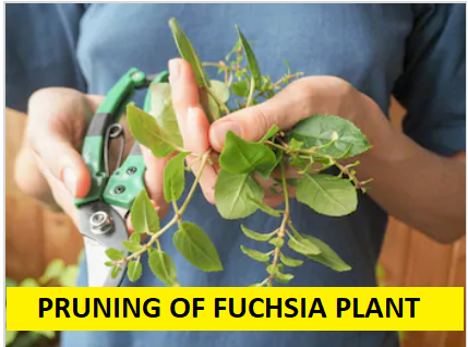 pruning of fuchsia plant