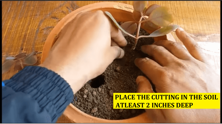 potting kalanchoe