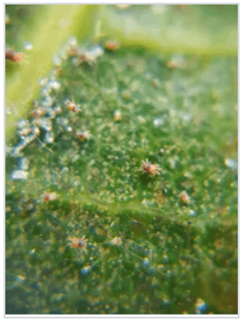 spider mites attack on euphorbia