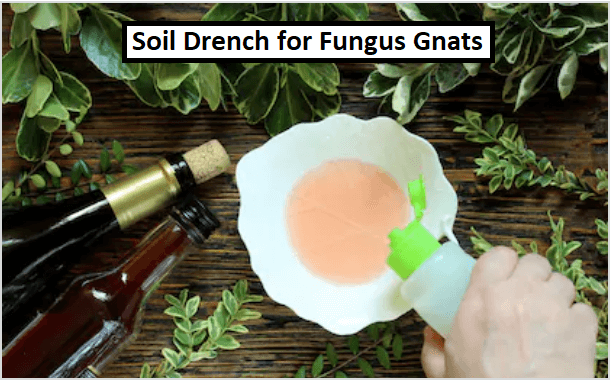 Soil Drench for fungus gnats