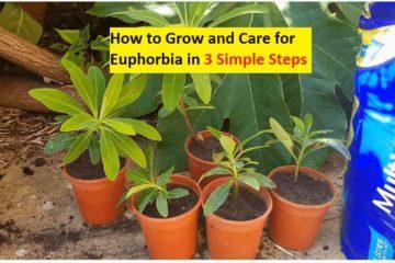 how to grow euphorbia