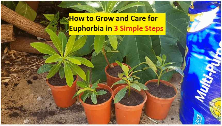 how to grow euphorbia