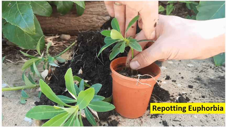 re-potting euphorbia