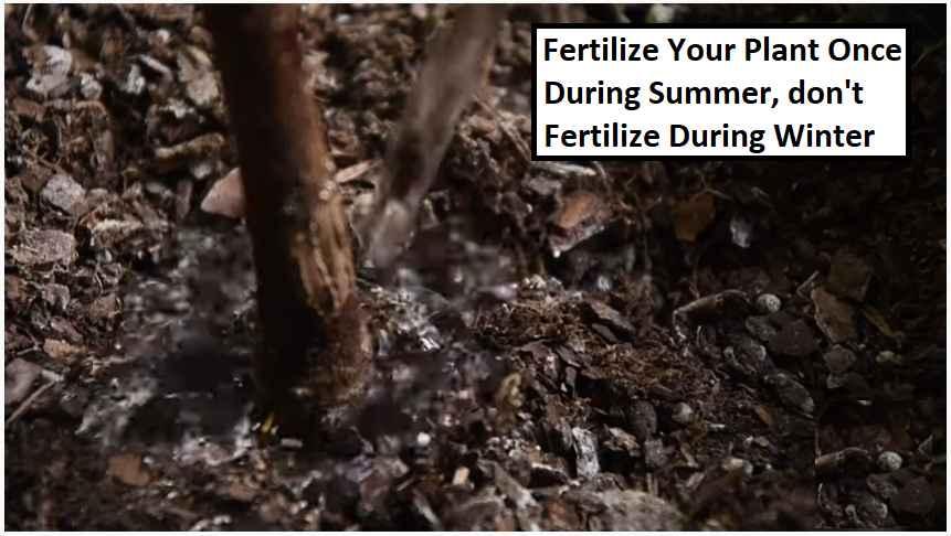 fertilizer for ficus tree
