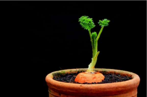 How to Grow Carrots in Containers?