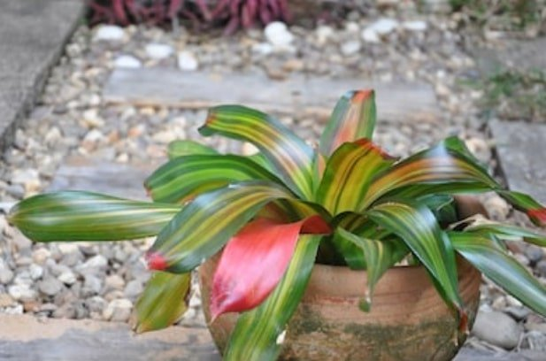 houseplants for beginners (bromeliad)