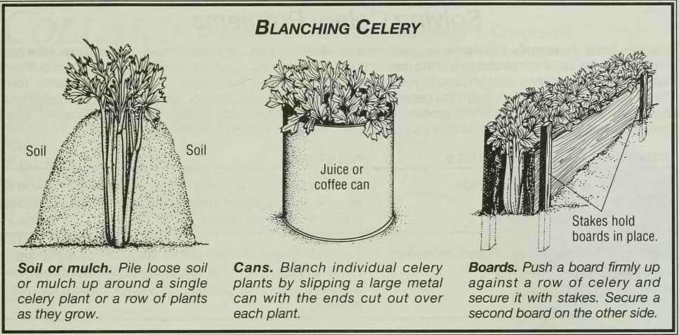 Blanching Celery
