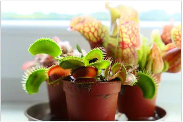 Repotting venus flytrap